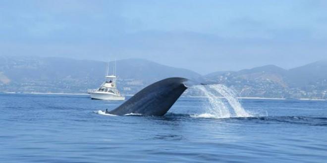 Blue Whale, photo by Velvet Park