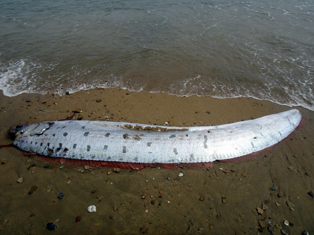 biggest oarfish