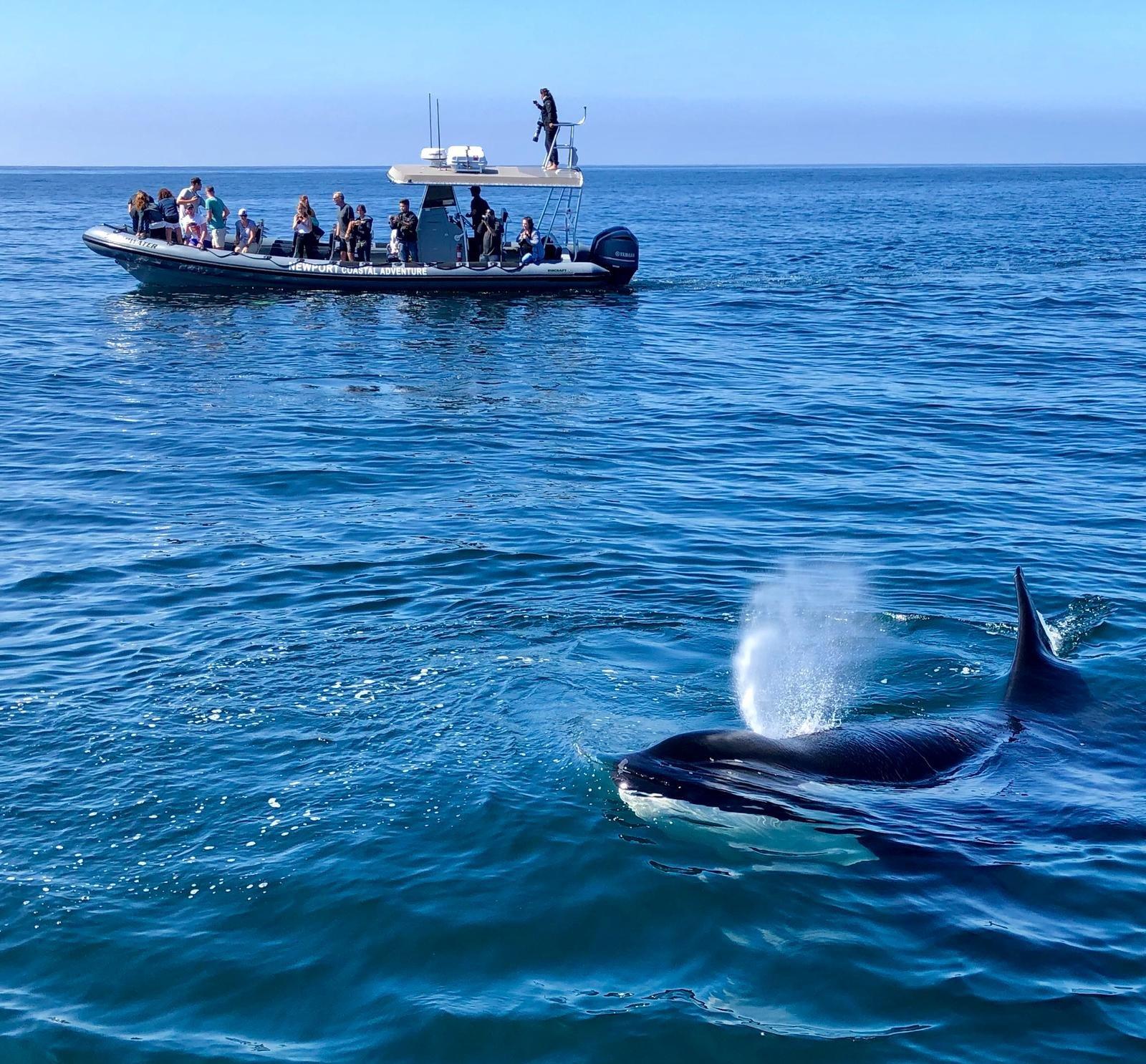 Killer Whale by Paul Hansen